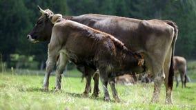 Τροφές μόσχων από την αγελάδα του mom απόθεμα βίντεο