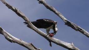 Τροφές Osprey με τα ψάρια απόθεμα βίντεο