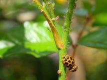 Τροφή των aphids Στοκ φωτογραφία με δικαίωμα ελεύθερης χρήσης