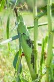 Τροφή Aphids με το καλαμπόκι σφρίγους Στοκ φωτογραφία με δικαίωμα ελεύθερης χρήσης