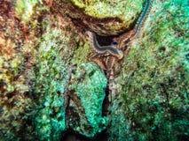 Τροφή Fireworms ΜΕ Carion στους βράχους στη Μεσόγειο από την ακτή της Μάλτας στοκ φωτογραφία