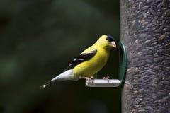 τροφοδότης goldfinch Στοκ Εικόνες