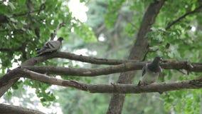 Τροφοδότης περιστεριών και πουλιών φιλμ μικρού μήκους