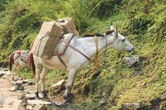 Τροχόσπιτο αλόγων στο Νεπάλ Στοκ Εικόνα