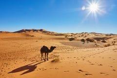 Τροχόσπιτο καμηλών που περνά από τους αμμόλοφους άμμου στην έρημο Σαχάρας Στοκ Φωτογραφία