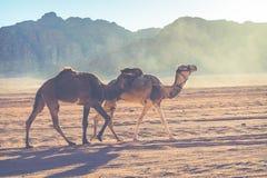 Τροχόσπιτο καμηλών που ταξιδεύει στο ρούμι Wadi, Ιορδανία Στοκ φωτογραφίες με δικαίωμα ελεύθερης χρήσης