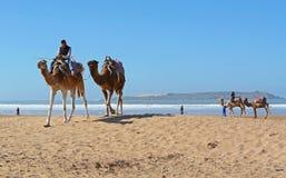 Τροχόσπιτο καμηλών στην παραλία Essaouira Στοκ Εικόνες