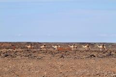 Τροχόσπιτο καμηλών στη βόρεια Κένυα Στοκ Εικόνες
