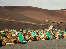 Τροχόσπιτο των καμηλών στην έρημο σε Lanzarote Στοκ φωτογραφίες με δικαίωμα ελεύθερης χρήσης
