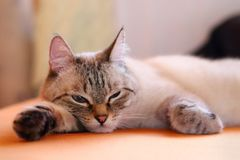 Τρυπημένη γάτα που βρίσκεται στο κρεβάτι στο σπίτι Το χνουδωτό κατοικίδιο ζώο closeup στοκ εικόνες