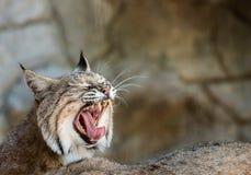 Τρυπημένη γάτα χασμουρητού στο τοπίο Στοκ φωτογραφίες με δικαίωμα ελεύθερης χρήσης