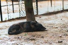 Τρυπημένος μαύρος λύκος στην αιχμαλωσία στοκ εικόνες