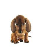 τρυπημένος dachshund Στοκ φωτογραφία με δικαίωμα ελεύθερης χρήσης