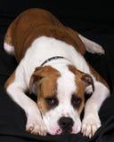 τρυπημένο σκυλί Στοκ Εικόνα