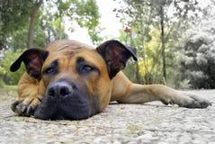 τρυπημένο σκυλί Στοκ εικόνα με δικαίωμα ελεύθερης χρήσης