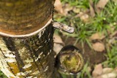 Τρυπημένο Hevea δέντρο brasiliensis που συλλέγει το λάστιχο Στοκ Εικόνα