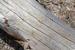 Τρυπώντας διαδρομές που γίνονται από τους κανθάρους στα δέντρα πεύκων, Στοκ φωτογραφία με δικαίωμα ελεύθερης χρήσης