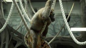 Τρυπώντας orangutan απόθεμα βίντεο
