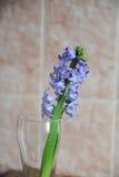 Τρυφερά μπλε λουλούδια υάκινθων σε ένα βάζο γυαλιού Ρόδινο υπόβαθρο της Νίκαιας, ξύλινος πίνακας, διάθεση άνοιξη Στοκ Εικόνες