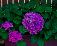 Τρυφερά ρόδινα λουλούδια Hydrangea Στοκ Φωτογραφίες