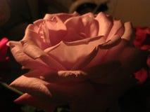 Τρυφερά rosepetals τη νύχτα στοκ εικόνα