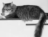 Τρυφερή γάτα στο σπίτι που εξετάζει τη κάμερα στοκ εικόνα με δικαίωμα ελεύθερης χρήσης