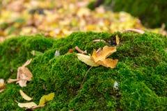 Τρυφερή πράσινη βλάστηση στις δασικές αποικίες βρύου Στοκ Εικόνες
