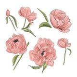 Τρυφερή ρόδινη peony διακόσμηση Ο Hand-drawn κήπος ανθίζει clipart το αγαθό για τις γαμήλιες προσκλήσεις, clipart, ευχετήρια κάρτ ελεύθερη απεικόνιση δικαιώματος