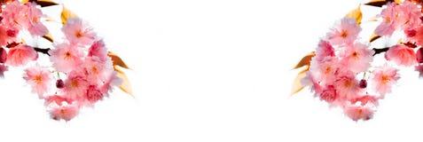 Τρυφερός κλάδος sakura Στοκ Εικόνες
