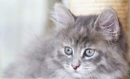 Τρυφερό γατάκι της σιβηρικής φυλής στο γρατσουνίζοντας μετα, μπλε ver στοκ εικόνα