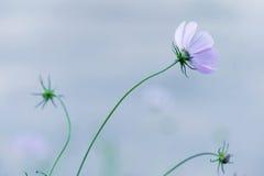 Τρυφερό ιώδες διάστημα λουλουδιών και αντιγράφων άνοιξη Στοκ Φωτογραφίες