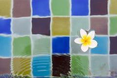 Τρυφερό λουλούδι plumeria που επιπλέει στην πισίνα Στοκ φωτογραφίες με δικαίωμα ελεύθερης χρήσης