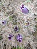 Τρυφερό πρώτο ιώδες μπλε pasque-λουλούδι λουλουδιών Μαρτίου άνοιξη Στοκ Εικόνα