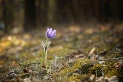 Τρυφερό πρώτο ιώδες μπλε pasque-λουλούδι λουλουδιών Μαρτίου άνοιξη, Στοκ φωτογραφία με δικαίωμα ελεύθερης χρήσης