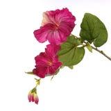 Τρυφερό ρόδινο campanula που απομονώνεται στοκ εικόνες με δικαίωμα ελεύθερης χρήσης