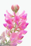 Τρυφερό, ρόδινο λουλούδι τομέων Στοκ εικόνα με δικαίωμα ελεύθερης χρήσης