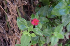 Τρυφερό ρόδινο λουλούδι Στοκ Φωτογραφία