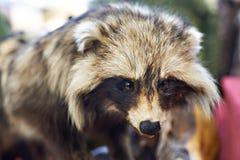Τρόπαιο κυνηγιού ένα γεμισμένο ρακούν Στοκ εικόνα με δικαίωμα ελεύθερης χρήσης