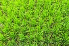 Τρόφιμα Ασία Ταϊλάνδη φύσης εγκαταστάσεων τομέων ρυζιού Στοκ Εικόνες
