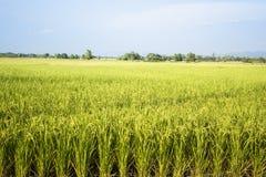 Τρόφιμα Ασία Ταϊλάνδη φύσης εγκαταστάσεων τομέων ρυζιού Στοκ Εικόνα