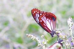 Τρόφιμα κατανάλωσης πεταλούδων Στοκ φωτογραφία με δικαίωμα ελεύθερης χρήσης