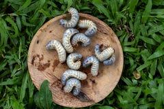 Τρόφιμα προνυμφών ferrugineus Rhynchophorus στοκ εικόνες με δικαίωμα ελεύθερης χρήσης