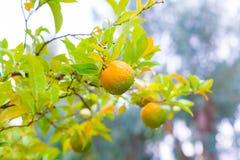 Τρόφιμα Το δέντρο κινεζικής γλώσσας, κλείνει επάνω Στοκ εικόνα με δικαίωμα ελεύθερης χρήσης