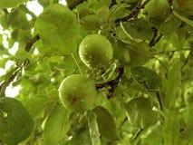 Τρόφιμα φρούτων δέντρων Aple Στοκ φωτογραφία με δικαίωμα ελεύθερης χρήσης