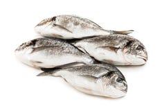τρόφιμα ψαριών gilthead Στοκ Φωτογραφία