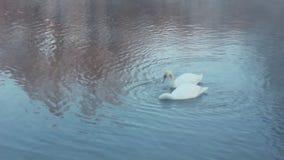 τρύγος βαλεντίνων πρόσκλησης s πλαισίων ζευγών καρτών πουλιών Άσπροι κύκνοι που κολυμπούν στον ποταμό Υδρονέφωση στο χειμερινό κρ απόθεμα βίντεο