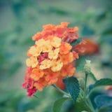 Τρύγος λουλουδιών camara Lantana Στοκ Φωτογραφίες