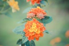 Τρύγος λουλουδιών camara Lantana Στοκ εικόνα με δικαίωμα ελεύθερης χρήσης