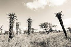 Τρύγος τόνου σεπιών αγριοτήτων αλόης άγριας φύσης στοκ εικόνες