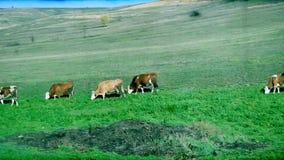 Τρύγος 8mm που ταξιδεύει με τη βοσκή των βοοειδών απόθεμα βίντεο